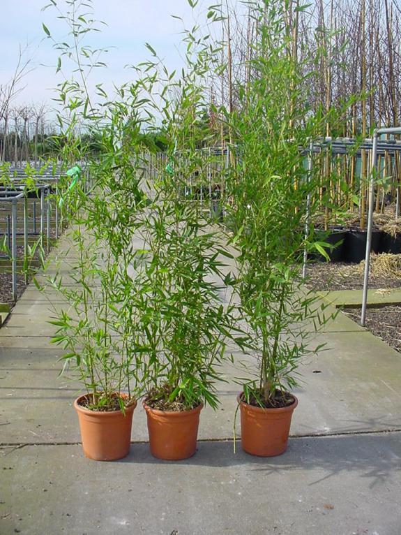 Phyllostachys aurea c12 150 175 nederhoff plant for Phyllostachys aurea en pot