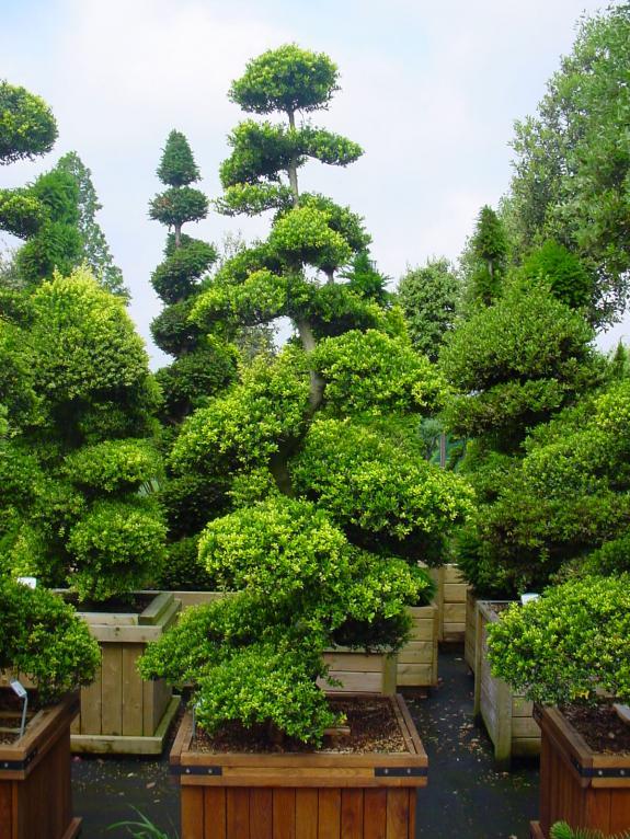 ilex crenata bonsai 200 225 nederhoff plant. Black Bedroom Furniture Sets. Home Design Ideas